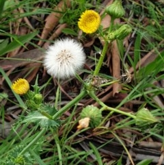 Sonchus asper (Prickly Sowthistle) at Mount Painter - 23 Nov 2020 by drakes