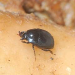 Unidentified Beetle (Coleoptera) (TBC) at Denman Prospect, ACT - 23 Nov 2020 by Harrisi