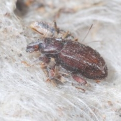 Unidentified Weevil (Curculionoidea) (TBC) at Denman Prospect, ACT - 23 Nov 2020 by Harrisi