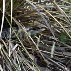Tiliqua scincoides scincoides (Eastern Blue-tongue) at Weston, ACT - 26 Nov 2020 by AliceH