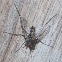 Senostoma sp. (genus) (Bristle Fly) at Point 5204 - 22 Nov 2020 by Harrisi
