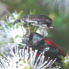 Unidentified Beetle (Coleoptera) (TBC) at Jerrabomberra, NSW - 25 Nov 2020 by Harrisi