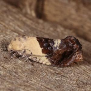 Hypertropha chlaenota at Melba, ACT - 13 Nov 2020