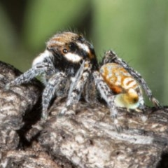 Maratus plumosus (Plumed Peacock Spider) at Tennent, ACT - 14 Oct 2020 by DerekC