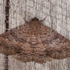 Eudesmeola lawsoni (Lawson's Night Moth) at Melba, ACT - 13 Nov 2020 by kasiaaus