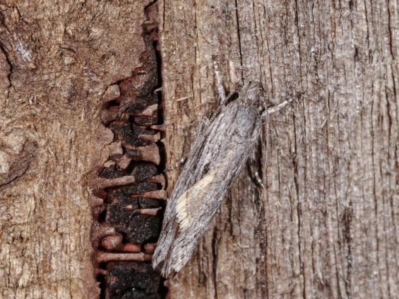 Lichenaula tuberculata at Melba, ACT - 13 Nov 2020
