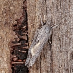 Lichenaula tuberculata at Melba, ACT - 13 Nov 2020 by kasiaaus