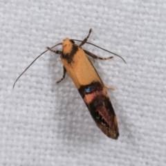 Eupselia satrapella and similar species at Melba, ACT - 13 Nov 2020