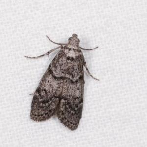 Heteromicta pachytera at Melba, ACT - 13 Nov 2020