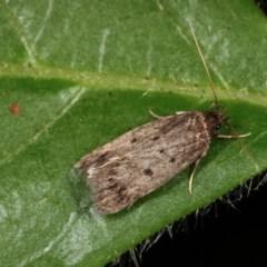 Barea (genus) (A concealer moth) at Melba, ACT - 13 Nov 2020 by kasiaaus