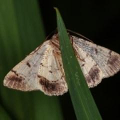 Cryphaea xylina (Woodland Geometrid) at Melba, ACT - 13 Nov 2020 by kasiaaus