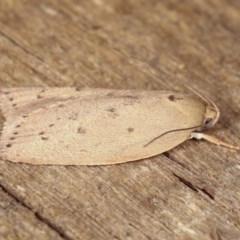 Heliocausta undescribed species (A concealer moth) at Melba, ACT - 13 Nov 2020 by kasiaaus