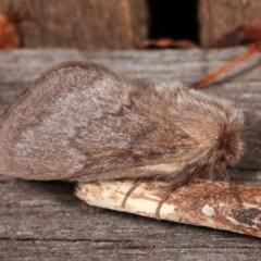 Pernattia pusilla (She-oak Moth) at Melba, ACT - 13 Nov 2020 by kasiaaus