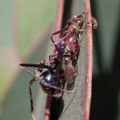 Iridomyrmex purpureus (Meat Ant) at Aranda Bushland - 18 Nov 2020 by CathB