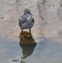Fulica atra (Eurasian Coot) at Gungaderra Creek Ponds - 28 Nov 2020 by jmcleod