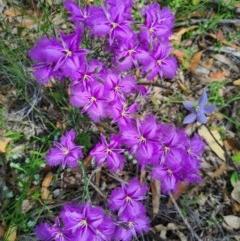 Thysanotus tuberosus subsp. tuberosus (Common Fringe-lily) at Piney Ridge - 28 Nov 2020 by AaronClausen