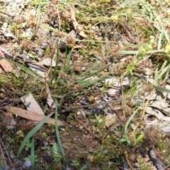 Plantago gaudichaudii (Narrow plantain) at Mount Mugga Mugga - 22 Nov 2020 by MichaelMulvaney