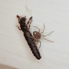 Embioptera sp. (order) (Unidentified webspinner) at Cook, ACT - 20 Nov 2020 by CathB