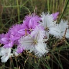 Thysanotus tuberosus subsp. tuberosus (Common Fringe-lily) at Cook, ACT - 28 Nov 2020 by CathB