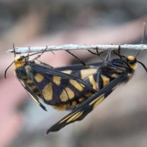 Amata (genus) at Dryandra St Woodland - 26 Nov 2020