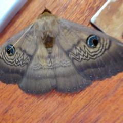 Dasypodia selenophora (Southern old lady moth) at Rugosa at Yass River - 27 Nov 2020 by SenexRugosus