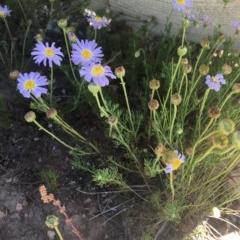 Brachyscome rigidula (Hairy cut-leaf daisy) at Delegate, NSW - 28 Nov 2020 by BlackFlat