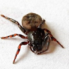 Trachycosmus sculptilis (Not-flat Trochanteriid Spider) at Crooked Corner, NSW - 28 Nov 2020 by Milly