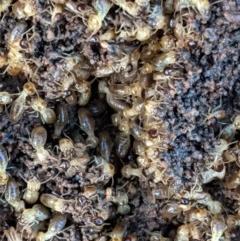 Nasutitermes sp. (genus) (Snouted termite, Gluegun termite) at Hughes, ACT - 22 Nov 2020 by JackyF