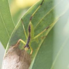 Tettigoniidae sp. (family) (Unidentified katydid) at Scullin, ACT - 28 Nov 2020 by AlisonMilton