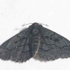 Geometridae (family) IMMATURES (Unidentified IMMATURE Geometer moths) at Scullin, ACT - 28 Nov 2020 by AlisonMilton