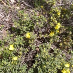 Hibbertia obtusifolia (Grey Guinea-flower) at Mulligans Flat - 21 Oct 2020 by abread111
