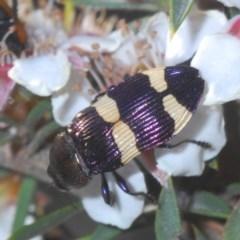 Castiarina vicina (Vicina jewel beetle) at Tinderry, NSW - 26 Nov 2020 by Harrisi