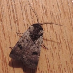 Agrotis porphyricollis (Variable Cutworm) at Conder, ACT - 20 Oct 2020 by michaelb