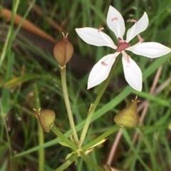 Burchardia umbellata (Milk Maids) at Oakdale Nature Reserve - 25 Nov 2020 by JaneR