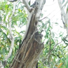 Eucalyptus mannifera subsp. mannifera (Brittle Gum) at Aranda, ACT - 29 Nov 2020 by petaurus