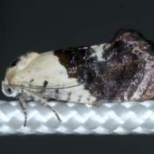 Hypertropha chlaenota at Ainslie, ACT - 28 Nov 2020