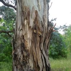 Eucalyptus mannifera (TBC) at Aranda, ACT - 29 Nov 2020 by petaurus