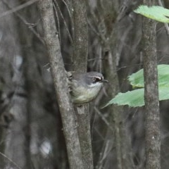 Sericornis frontalis (White-browed Scrubwren) at Dryandra St Woodland - 29 Nov 2020 by ConBoekel