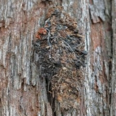Cebysa leucotelus (Australian Bagmoth) at Dryandra St Woodland - 29 Nov 2020 by ConBoekel
