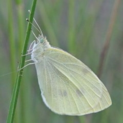 Pieris rapae (Cabbage White) at Dryandra St Woodland - 29 Nov 2020 by ConBoekel