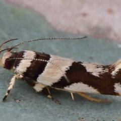 Macrobathra desmotoma ( A Cosmet moth) at Dryandra St Woodland - 29 Nov 2020 by ConBoekel