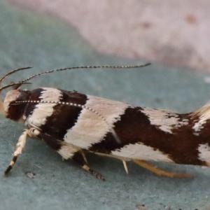 Macrobathra desmotoma at Dryandra St Woodland - 29 Nov 2020
