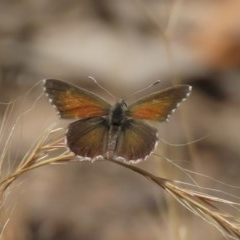 Neolucia agricola (Fringed Blue) at Theodore, ACT - 29 Nov 2020 by Owen