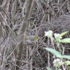 Zosterops lateralis (Silvereye) at Dryandra St Woodland - 29 Nov 2020 by ConBoekel
