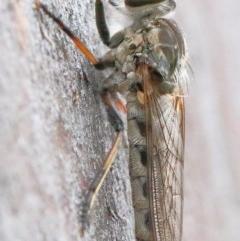 Cerdistus varifemoratus (Robber fly) at Dryandra St Woodland - 29 Nov 2020 by ConBoekel