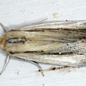 Leucania stenographa at Ainslie, ACT - 27 Nov 2020