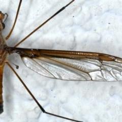 Leptotarsus (Macromastix) costalis at Ainslie, ACT - 28 Nov 2020
