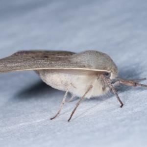 Arhodia lasiocamparia at Melba, ACT - 13 Nov 2020