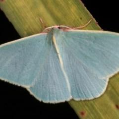 Chlorocoma assimilis (Golden-fringed Emerald Moth) at Melba, ACT - 13 Nov 2020 by kasiaaus
