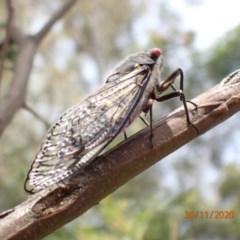 Psaltoda moerens (Redeye Cicada) at Campbell, ACT - 29 Nov 2020 by Ghostbat